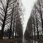 16832732 - 冬のメタセコイヤ並木