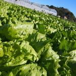 野菜がおいしいごはん - 農家さん/レタス収穫前