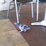 カフェ ラ ブヴェット - 名物の鳩が遊びに来ます。