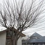 17163052 - 大きなにれの木がシンボル