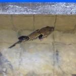 日間賀観光ホテル - 2013.02 もうすぐ食べられちゃう運命のフグくんが優雅に泳いでいました:笑