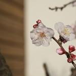 ビアリッツ - 梅が咲きました