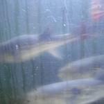 新島水産 - 泳ぐ河豚。