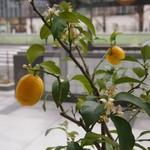 ジョルジェット - 窓辺に鉢植えされたレモンの木.jpg