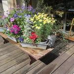 デュ バリー - 咲き乱れる鉢植えの花