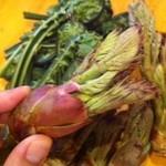 高瀬 - 天然山菜のたらの芽