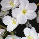 ビアンコ ブランコ - お店の前の桜