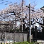 ハーモニー - 本日 3月21日の お向かいさんの桜 もう殆ど満開!!