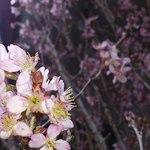 ビストロ・ダルブル - 桜。アップ