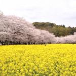 17982585 - この日は桜満開でした!