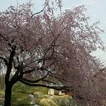 18014995 - 立派な枝垂れ桜です☆*
