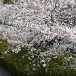 清羽亭 - 桜は満開です