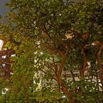 カフェ ラ・ボエム - テラスで毎年実るカボス