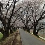18180937 - 背割り堤の桜