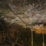 ドンドコ - 窓の外の桜