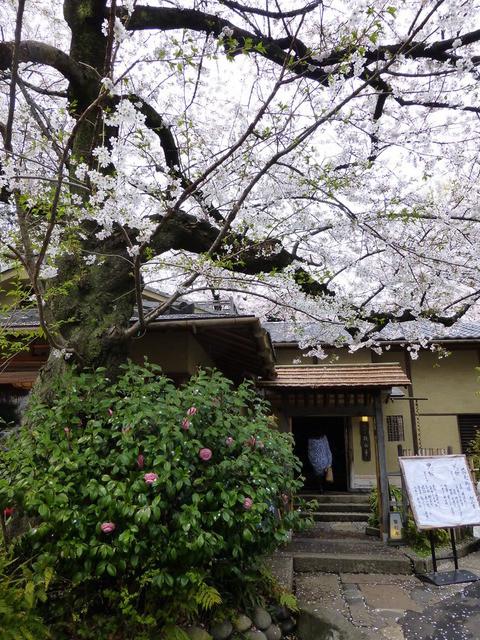 韻松亭 - 桜の下を通って、玄関へ♪