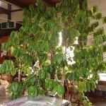 KuRa珈琲 - 大きなコーヒーの木