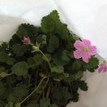 野の花 - 可愛い花を買いました(^_^)v