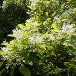 ロビンフッド - なんじゃもんじゃの花