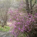 仁世宇園 - アプローチの一角にて;やっと蝦夷紫躑躅が咲いた(後方の白は北辛夷) @2013/05/15