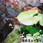 そば処 角弥 - 角弥の裏山の葉わさび