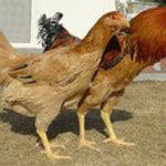 鳥料理 有明 - 当店だけの専用軍鶏 霞ヶ浦の農園と一緒に当店専用の軍鶏を開発しました!