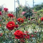 19150183 - 店横のバラ庭園