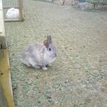 茶房 葛味庵 - 葛味庵ちかくのアニマルパークのウサギは気を許してくれないウサギ