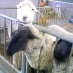 茶房 葛味庵 - いっぽう羊たちは乱暴至極