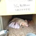 榎本牧場 フォルトゥーナ - 2013.5 ぶたの赤ちゃん