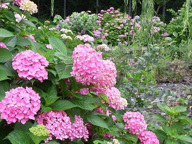 バイキングレストラン ヴェルデ - 群生の紫陽花は香りが立つ♪