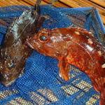 珊瑚礁 - ★【カサゴ(ガシラ)】 煮付け・唐揚げに美味しいお魚です。