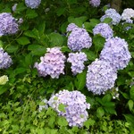 サンタランド - 紫陽花がきれいですよ