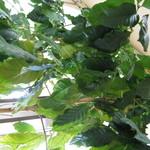 健康食工房 たかの - 店内に生えているコーヒーの巨木、開業から14年の間に大きくなりました。