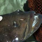 珊瑚礁 - ★28年いた初代クエの花子の後を継ぎ、2004年4月からお客様のお出迎えをしてくれている2代目クエの花子ちゃんです。