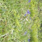 19961311 - 南浜湿原 かきつばた群生