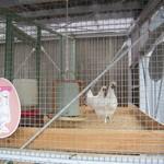 19998617 - 烏骨鶏