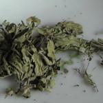 ハーブ&クラフト花木香 - ステビア(甘味のあるハーブ)