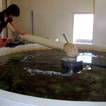 活イカ備蓄センター - イカの水槽