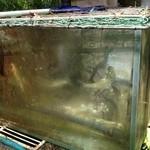 京亭 - 鮎の水槽