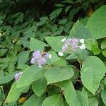 神津牧場 - 紫陽花に蜂〜♬
