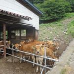 神津牧場 - 牛舎にいた仔牛たち