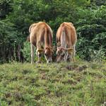 神津牧場 - 朝ゴハン中の仔牛