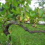 サンクゼール・ワイナリー - サンクゼールの葡萄