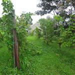 サンクゼール・ワイナリー - エントランス前の葡萄畑