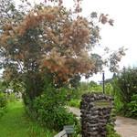 サンクゼール・ワイナリー - 珍しいうるし科の Smoke Tree