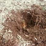 市原タケノコ園 - 優しく周りを掘っていきますw