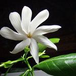 南太平洋 - ティアレ・タヒチ 幸福の8枚弁