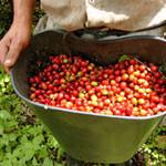 珈琲豆屋 - 焙煎職人が受注後に生豆を手焙煎