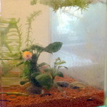 沙羅 - カメラ目線の金魚